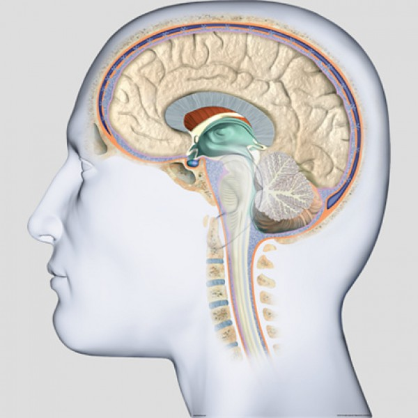 Poster doorsnede van de Hersenen