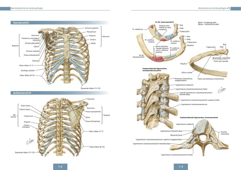 Ziemlich Halsmuskelanatomie Galerie - Menschliche Anatomie Bilder ...
