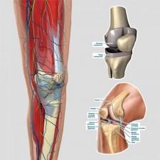 Poster knie anatomie
