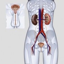 Poster Urinewegen